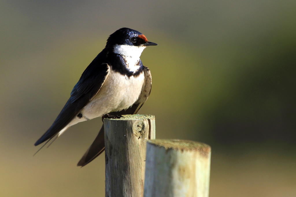 White-throated Swallow / West Coast National Park, South Africa / 15 February 2013