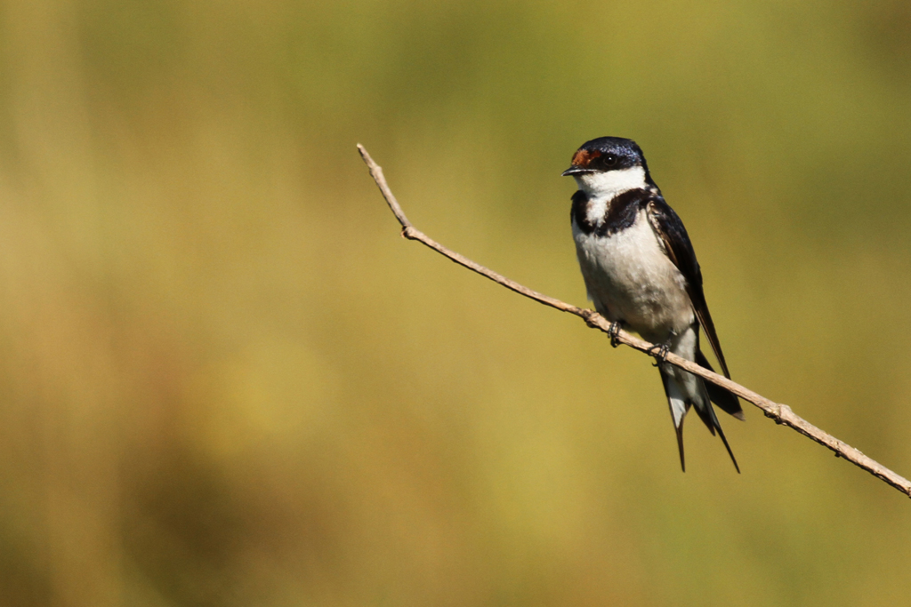 White-throated Swallow / Drakensberg, South Africa / 28 March 2013