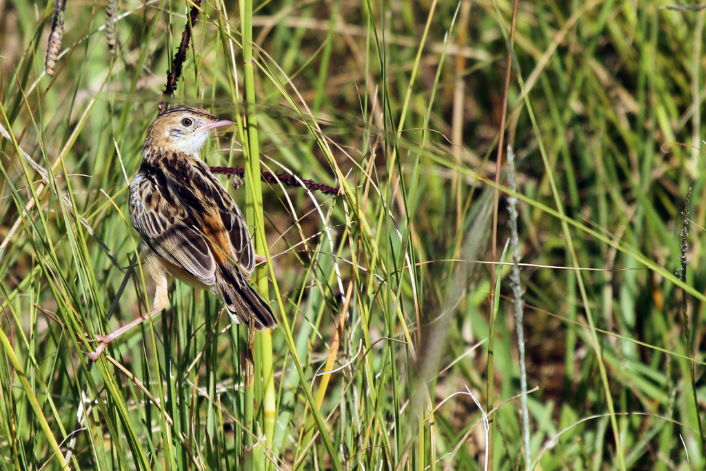 Zitting Cisticola / Drakensberg, South Africa / 28 March 2013