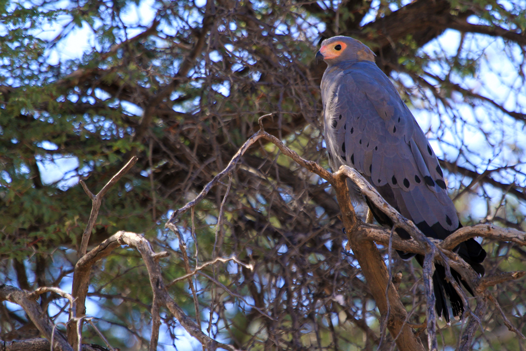 African Harrier Hawk / Kgalagadi Transfrontier Park, South Africa / 29 April 2013