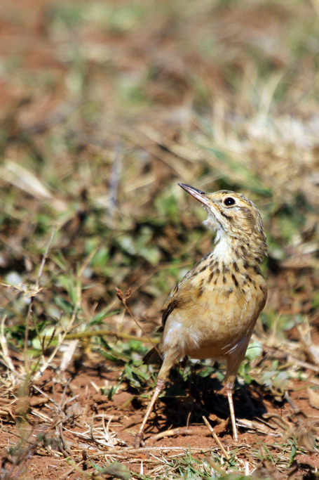 African Pipit / Ezemvelo Nature Reserve, South Africa / 31 May 2013