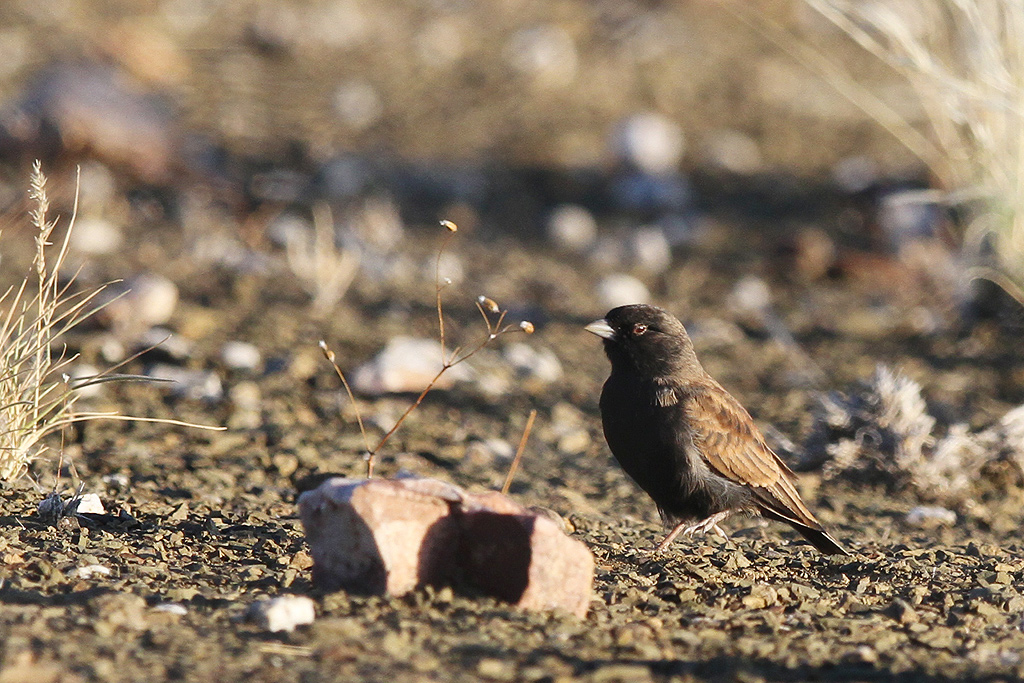 Black-eared Sparrow-Lark / Prince Albert (Gamkapoort Dam Road), South Africa / 27 December 2013