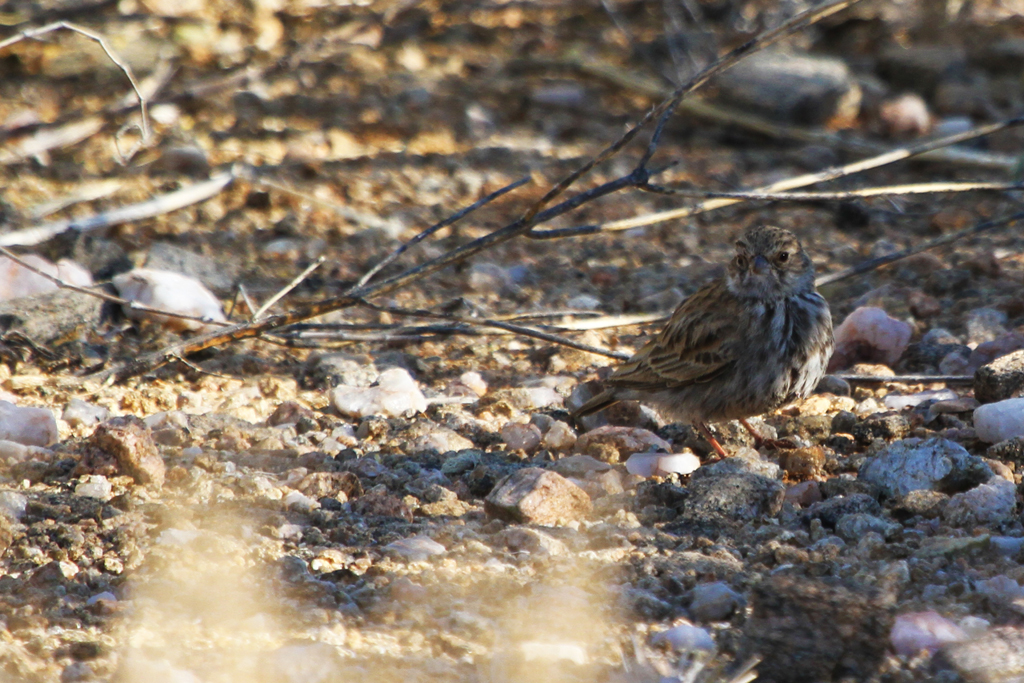 Black-eared Sparrow-lark – fem. / Augrabies Falls National Park, South Africa / 08 May 2013
