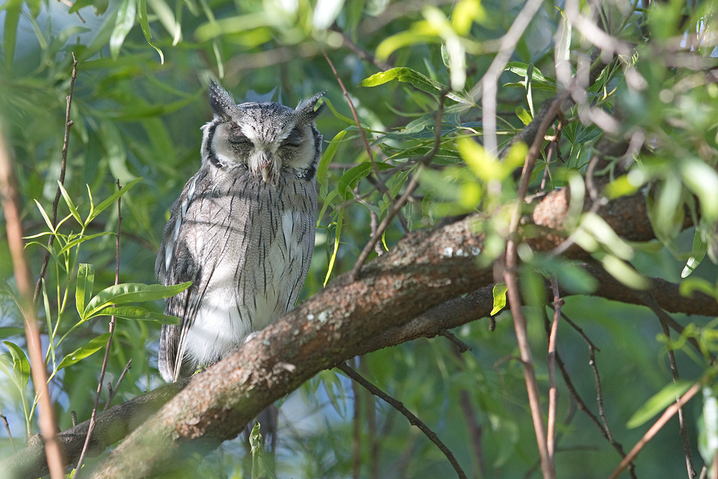 Southern White-faced Scops Owl / Sandton Field & Study, Gauteng, South Africa / January 2018