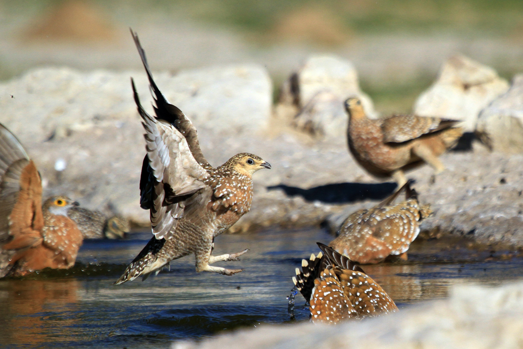 Burchell's Sandgrouse – m. & f.  / Kgalagadi Transfrontier Park, South Africa / 5 May 2013