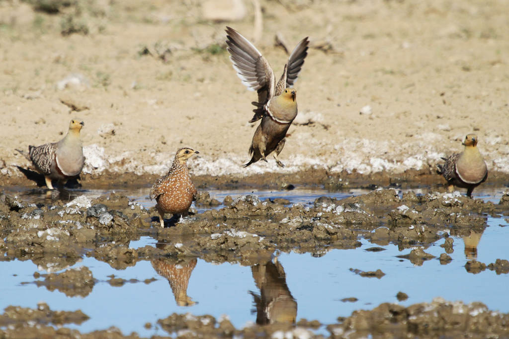 Burchell's Sandgrouse / Kgalagadi Transfrontier Park, South Africa / 5 May 2013