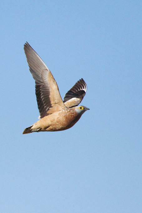 Burchell's Sandgrouse / Kgalagadi Transfrontier Park, South Africa / 02 May 2013
