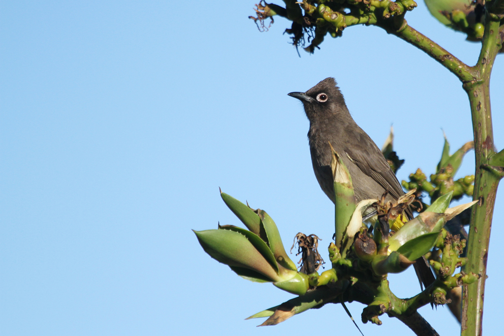 Cape Bulbul / Llandudno, Western Cape, South Africa / 15 June 2013