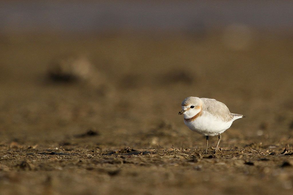 Chestnut-banded Plover / Mkhombo Dam Nature Reserve, South Africa / 29 June 2013