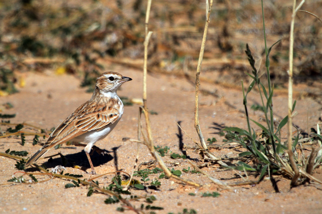 Fawn-coloured Lark / Kgalagadi Transfrontier Park, South Africa / 04 May 2013