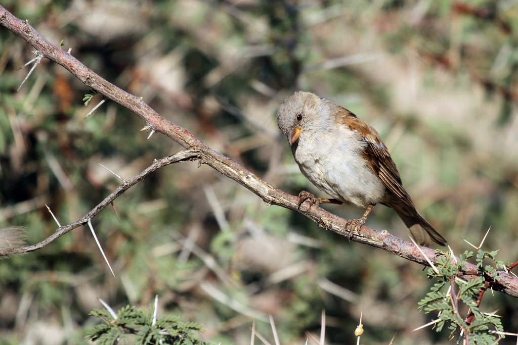 Grey-headed Sparrow / Nossop, Kgalagadi Transfrontier Park / 30 April 2013