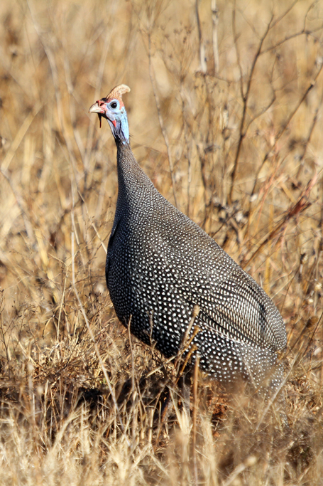 Helmeted Guineafowl / Rietvlei Nature Reserve, South Africa / 08 June 2013