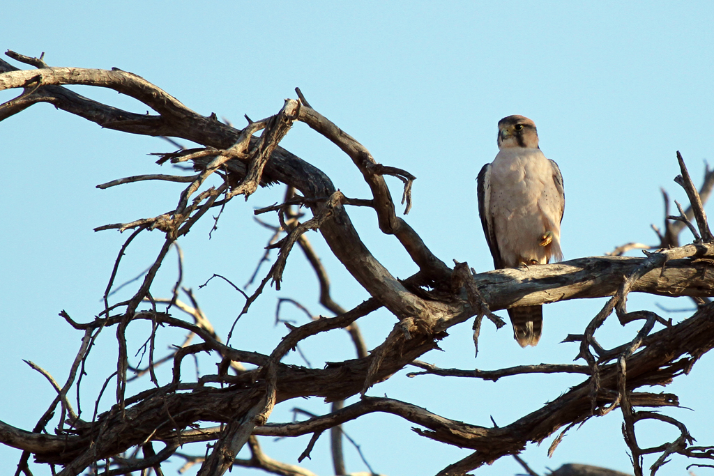 Lanner Falcon / Kgalagadi Transfrontier Park, South Africa / 28 April 2013