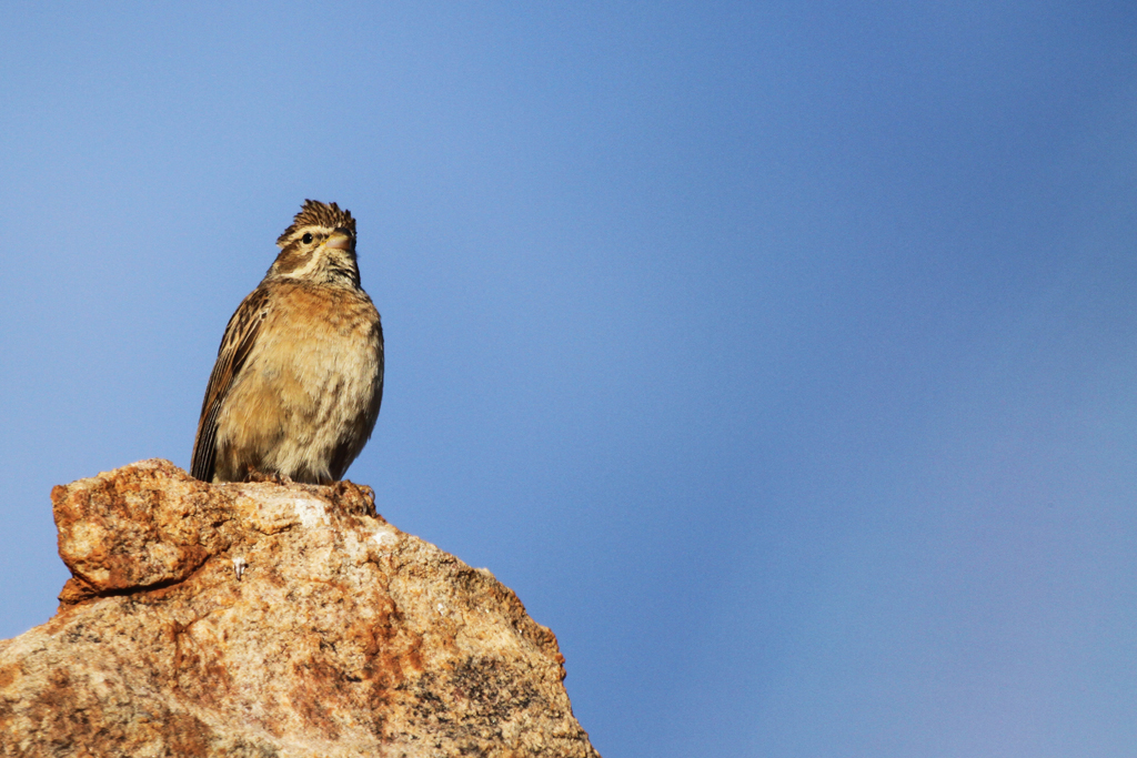 Lark-like Bunting / Augrabies Falls National Park, South Africa / 09 May 2013