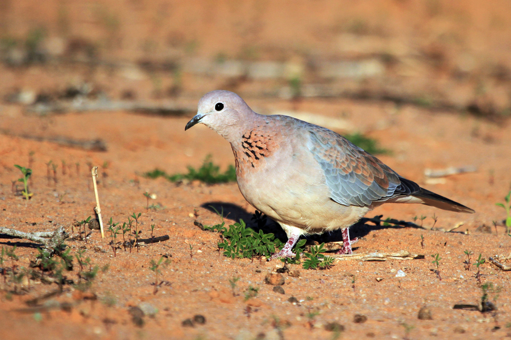 Laughing Dove / Kalahari Tented Camps, Kgalagadi Transfrontier Park, South Africa / 30 April 2013