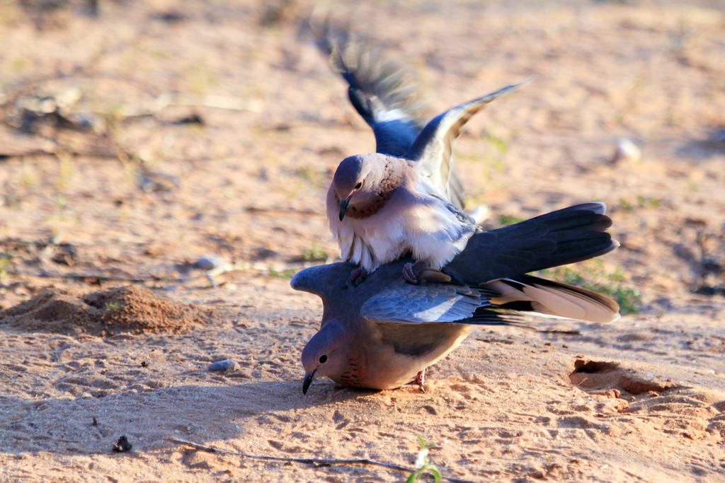 Laughing Dove / Kgalagadi Transfrontier Park, South Africa / 30 April 2013