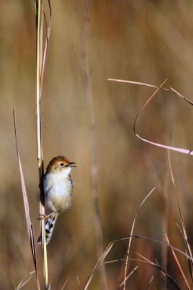 Levaillant's Cisticola / Rietvlei Nature Reserve, South Africa / 08 June 2013