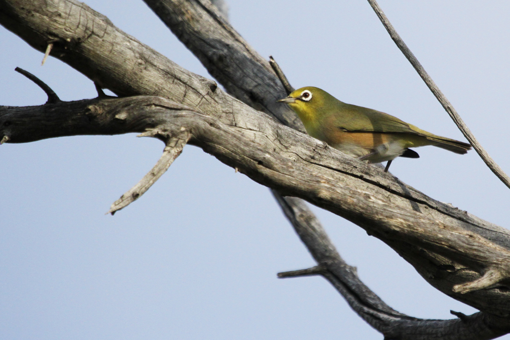Orange River White-eye / Augrabies National Park, South Africa / 08 May 2013