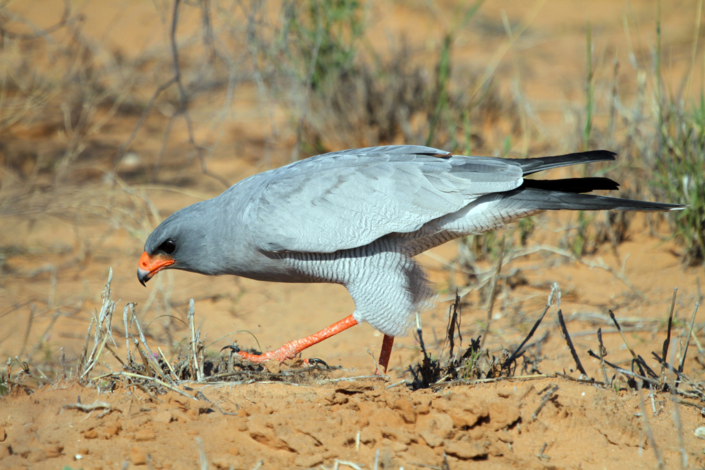 Southern Pale Chanting Goshawk / Kgalagadi Transfrontier Park, South Africa / 07 May 2013