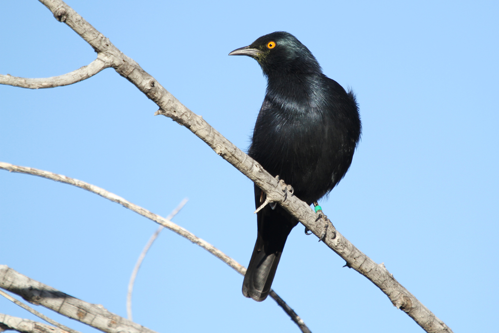 Pale-winged Starling / Augrabies National Park, South Africa / 10 May 2013
