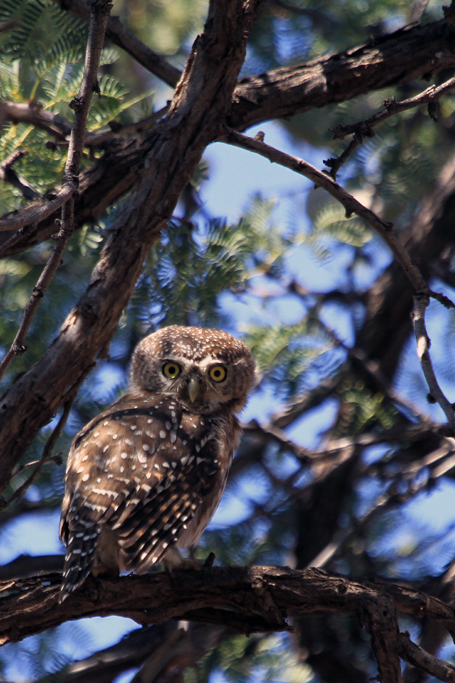 Pearl-spotted Owlet / Kalahari Tented Camps, Kgalagadi Transfrontier Park, South Africa / 29 April 2013