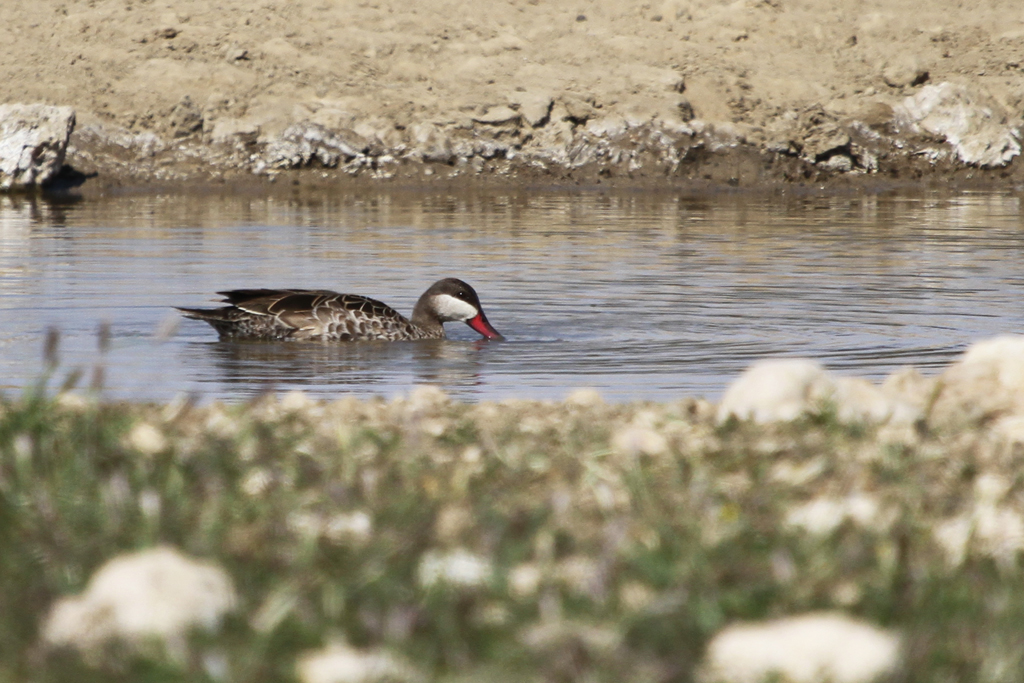 Red-billed Teal / Kgalagadi Transfrontier Park, South Africa / 06 May 2013
