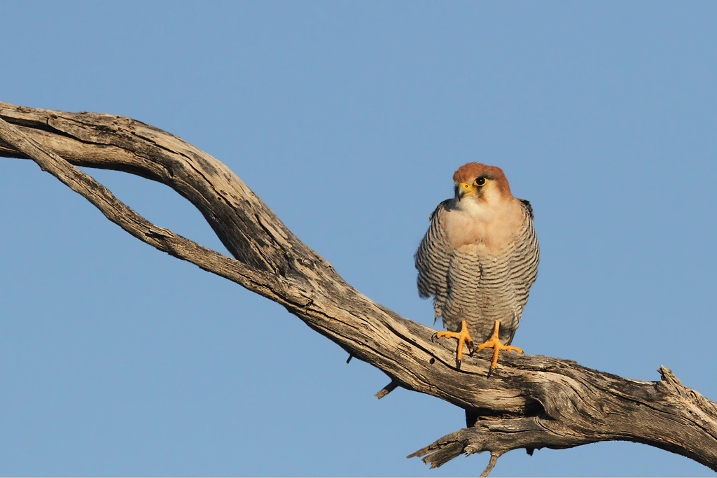 Red-necked Falcon / Kgalagadi Transfrontier Park, South-Africa / 16 June 2014