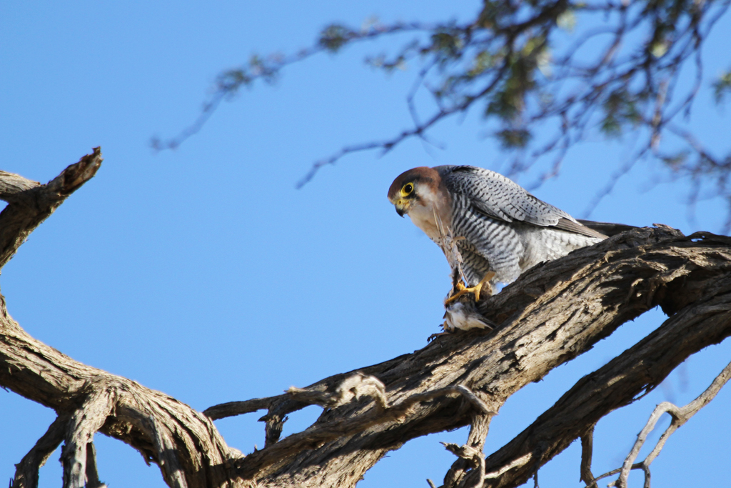 Red-necked Falcon / Union's End, Grootkolk, Kgalagadi Transfrontier Park, South Africa / 04 May 2013