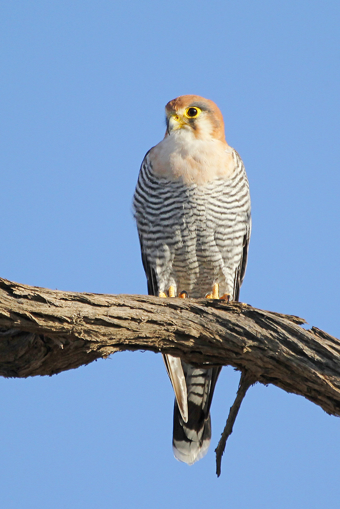 Red-necked Falcon / Union's End, Grootkolk, Kgalagadi Transfrontier Park, South Africa / 03 May 2013