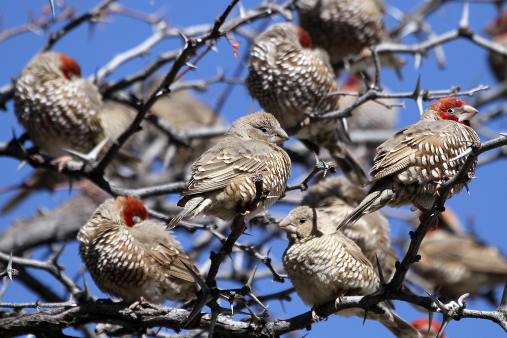 Red-headed Finch m. & f. / Grootkolk, Kgalagadi Transfrontier Park, South Africa / 03 May 2013