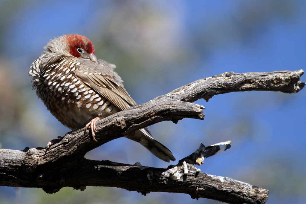 Red-headed Finch m. / Grootkolk, Kgalagadi Transfrontier Park, South Africa / 03 May 2013