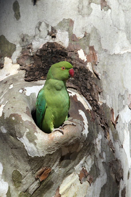 Rose-ringed Parakeet / Irene, Centurian, South Africa / 08 June 2013