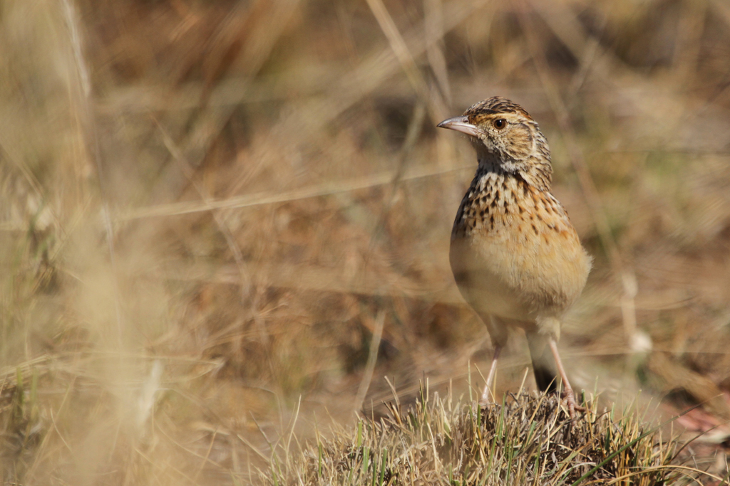 Rufous-naped Lark / Ezemvelo Nature Reserve, South Africa / 31 May 2013