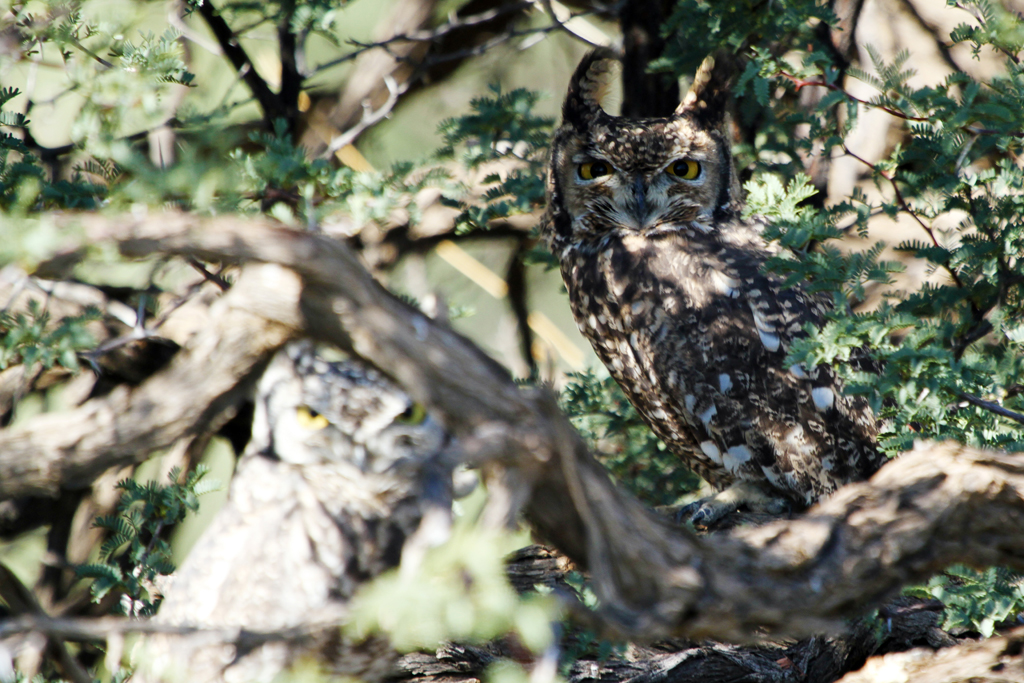 Spotted Eagle Owl – Rufous Morph / Kgalagadi Transfrontier Park, South Africa / 03 May 2013