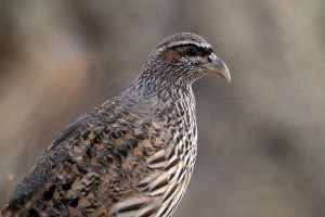 Special Birds / Hartlaub's Spurfowl / Erongo Wilderness Camp, Central Namibia