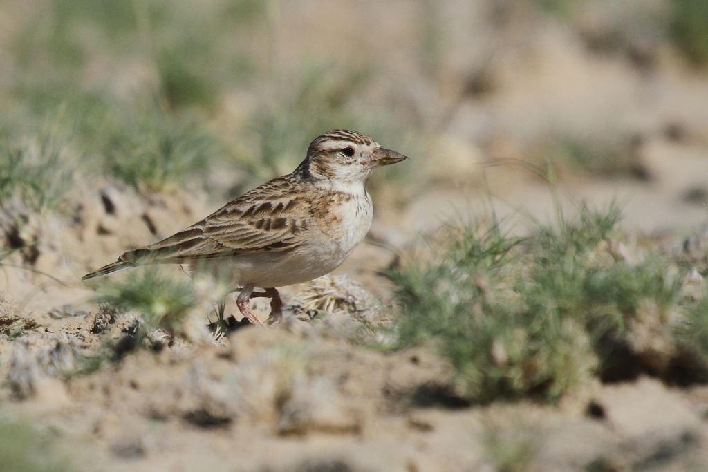 Stark's Lark / Kgalagadi Transfrontier Park, South Africa / 01 May 2013