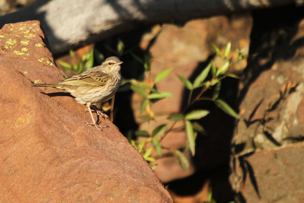 Striped Pipit / Ezemvelo Nature Reserve, South Africa / 31 May 2013
