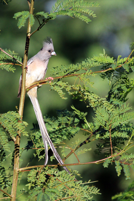 White-backed Mousebird / Upington, South Africa / 27 May 2013