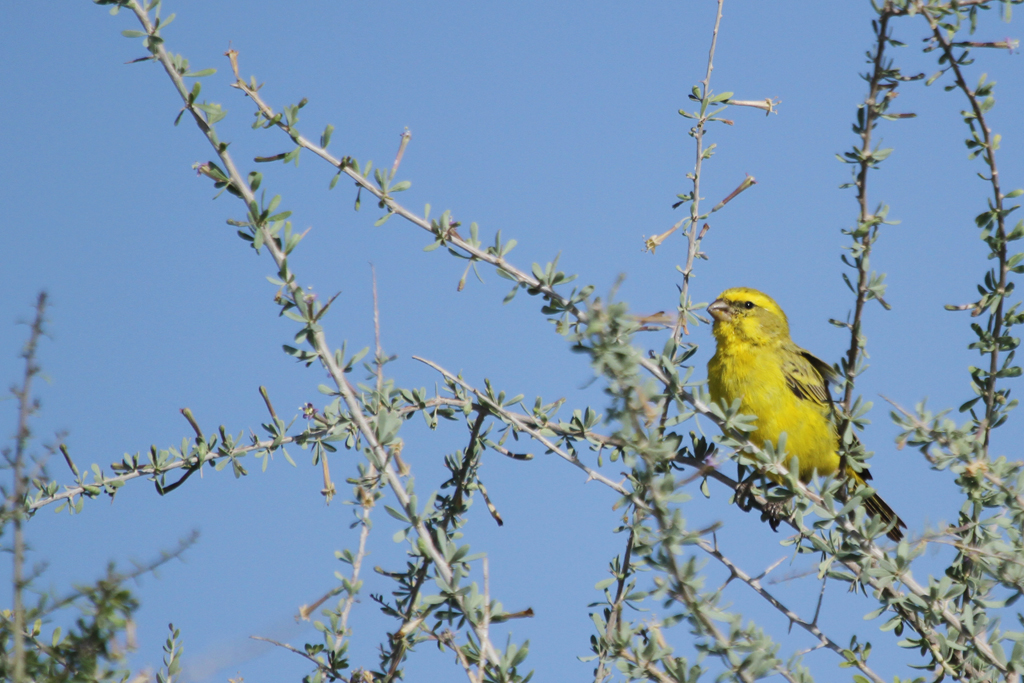 Yellow Canary / Kgalagadi Transfrontier Park,  South Africa / 07 May 2013