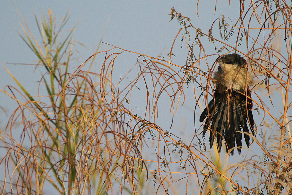 Burchell's Coucal / Mkhombo Dam Nature Reserve, South Africa / 29 June 2013