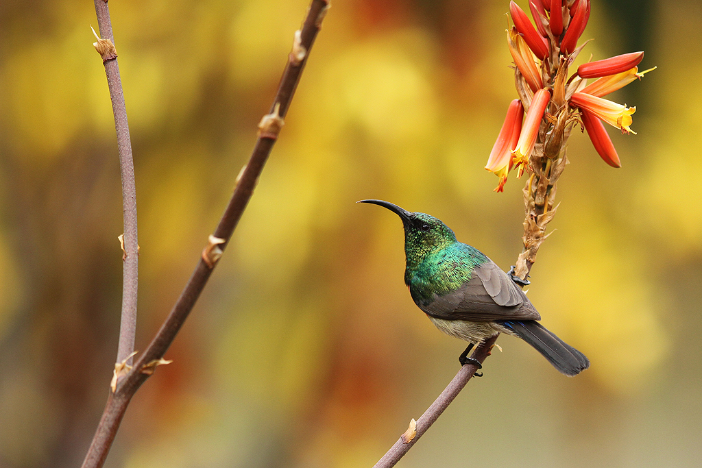 Greater Double-collared Sunbird – m. / Walter Sisulu Botanical Gardens, South Africa / 06 July 2013