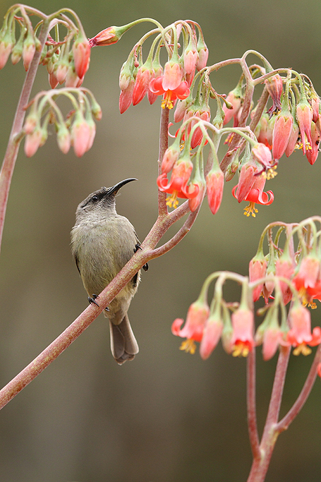 Greater Double-collared Sunbird – f. / Walter Sisulu Botanical Gardens, South Africa / 06 July 2013