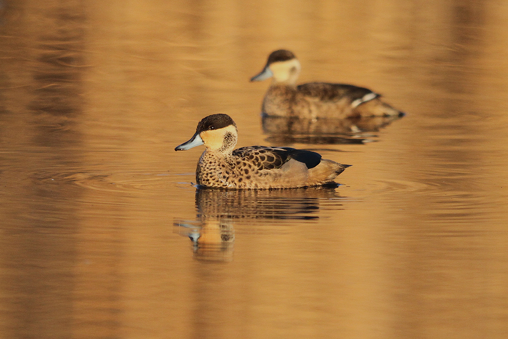Hottentot Teal / Marievale Bird Sanctuary, South Africa / 13 July 2013