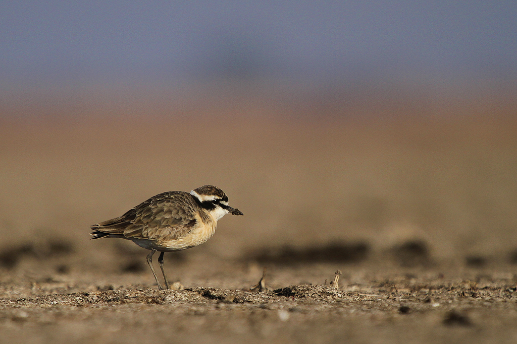 Kittlitz's Plover / Mkhombo Dam Nature Reserve, South Africa / 29 June 2013