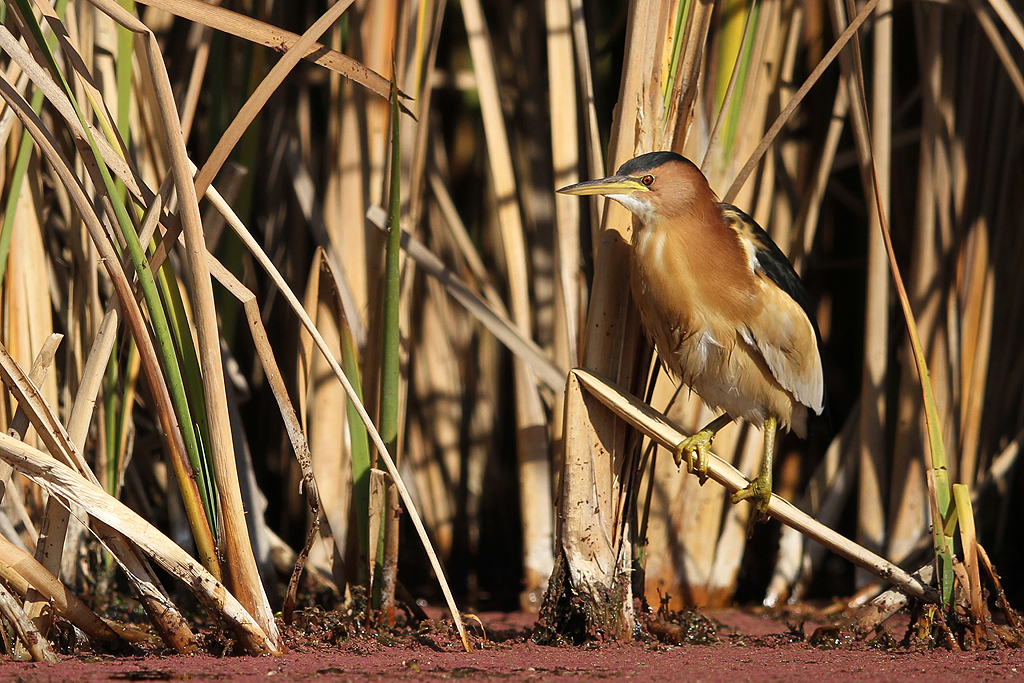 Little Bittern / Marievale Bird Sanctuary, South Africa / 13 July 2013