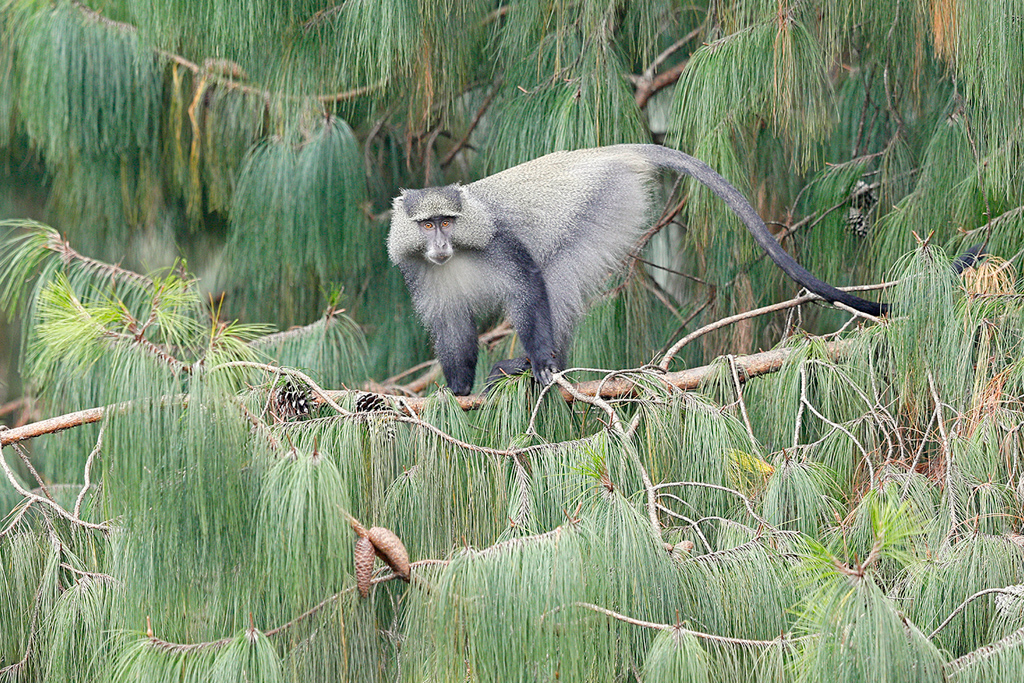 Simanga Monkey / Woodbush Forest, Magoebaskloof