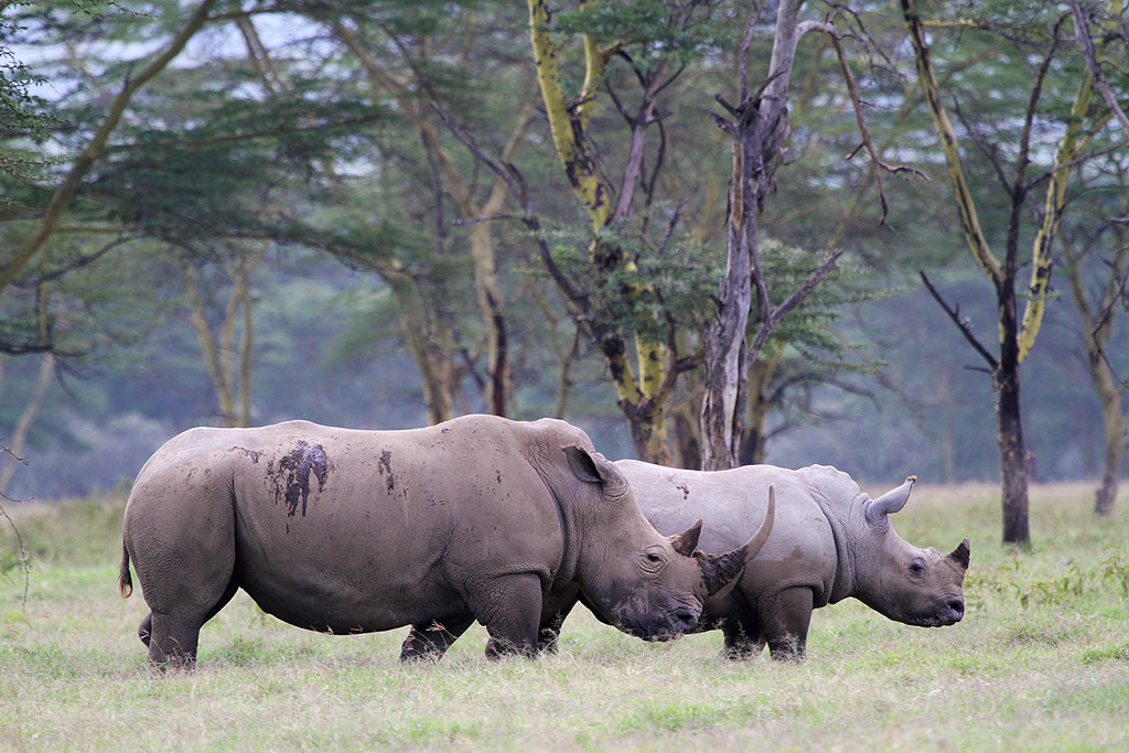 White Rhinoceros / Lake Nakuru, Kenya