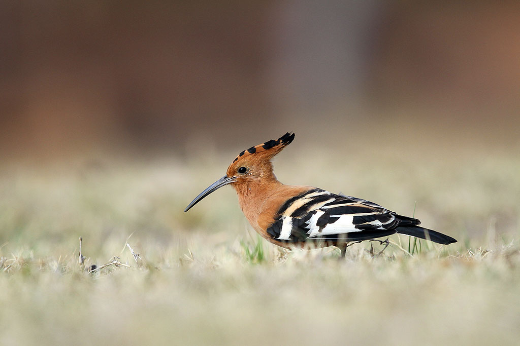 African Hoopoe / Kololo Game Reserve, Waterberg, South Africa / 11 August 2013