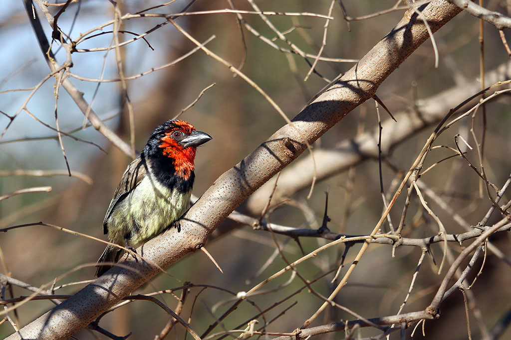 Black-collared Barbet / Rietvlei Nature Reserve, South Africa / 28 July 2013