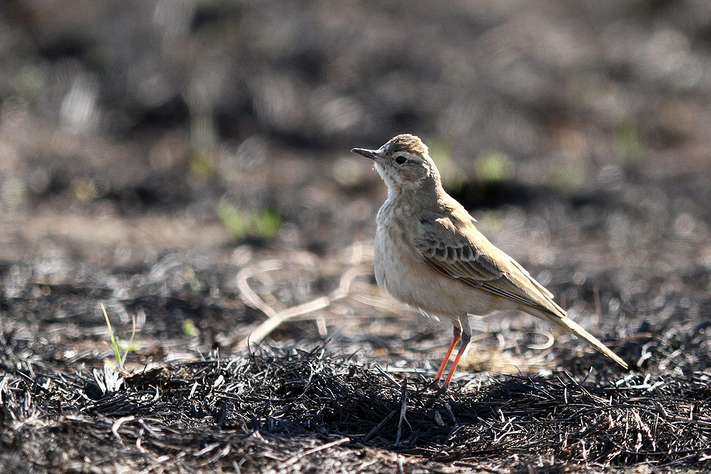Buffy Pipit / Rietvlei Nature Reserve, South Africa / 28 July 2013
